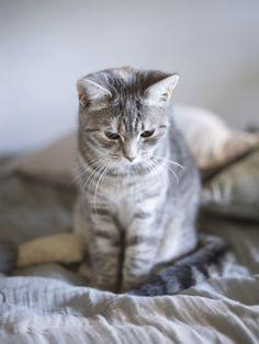 I want a grey kitty Beautiful Cats, Animals Beautiful, Cute Animals, Kitten Love, I Love Cats, Cute Cats And Kittens, Kittens Cutest, Crazy Cat Lady, Crazy Cats