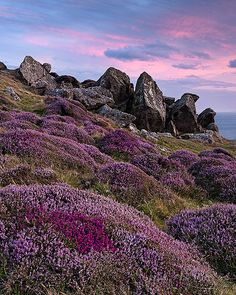 Heather in the Welsh hills Rhossili by onionade on Flickr