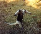 anteater - Google Search