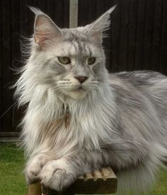 Beautiful Maine Coon cat silver http://www.mainecoonguide.com/kittens/