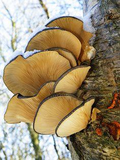 Beautiful winter Oyster mushrooms!