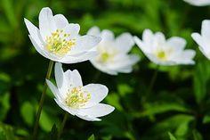 Valkovuokko - kukkia äidille #nikistrbian