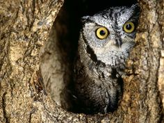 Owl's do not live in groups.