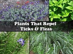 Plants That Repel Ticks & Fleas - Pet Health Plants That Repel Bugs, Cat Safe Plants, Cool Plants, Mini Plants, Fleas In Yard, Get Rid Of Ticks, Flea Remedies, Natural Remedies, Mosquito Repelling Plants
