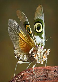 Spiny Flower Mantis (Pseudocreobotra wahlbergii)