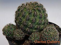 Rebutia canigueralii aplanata Cactus Gallery