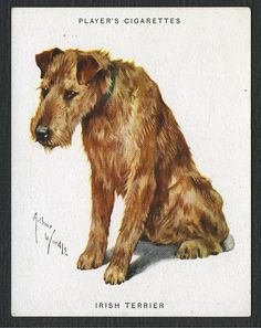Player's cigarette card, Irish Terrier