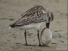 Bird stuck with a clam on it's beak. Dilema, Clam, Bird Watching, Feathers, Wildlife, Wings, Creatures, Gardens, Lunch