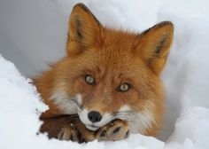 fox - wow