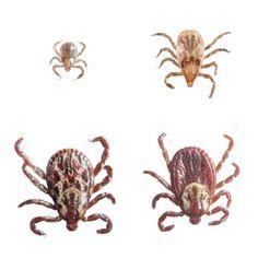 tickshttp://oneacrefarming.com/2012/05/natural-tick-repellent/