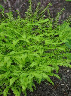 Dwarf Western Maidenhair fern via Three Dogs in a Garden