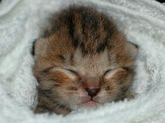 赤ちゃん子猫 - Google 検索
