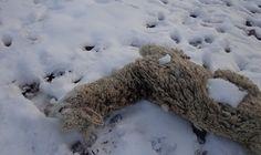 Llamas muertes por abundantes nevadas en zonas de puno