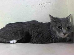 NYC TO BE DESTROYED 4/7/14 Brooklyn Center My name is LAYLA. My Animal ID # is A0995250.I am a female gray tabby and white domestic sh. The shelter thinks I am about 9 MONTHS old.I came in the shelter as a STRAY with Group/Litter #K14-172267.