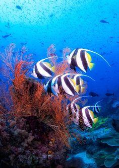 By Scotty Graham.Indonesia, Papua, Raja Ampat, underwater world Life Under The Sea, Under The Ocean, Sea And Ocean, Fish Ocean, Underwater Creatures, Underwater Life, Ocean Creatures, Fauna Marina, Fish Breeding