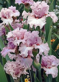 TB Iris 'Country Kisses' (Blyth, 2005)  10