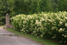 Hydrangea paniculata 'Limelight' (8 feet tall x 8 feet wide)