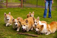How many corgis does it take to pick up a stick?