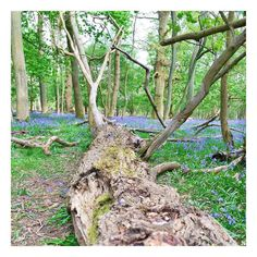 Bluebell walk  sometimes the most beautiful places are right on your doorstep!  by jovanniam