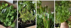 Cultivando em casa - 8Verduras elegumes que você pode cultivar emcasa Não édifícil, mesmo para quem vive num apartamento, ter verduras elegumes sempre frescos emcasa. Muitas variedades continuam crescendo, mesmo quando jáestão àvenda nafeira ounosupermercado. Então, basta coloca-las naágua para que volte... - http://www.diskingresso.com.br/ecoblog/2016/12/27/cultivando-em-casa/