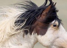 Warbonnet -Wild Mustang