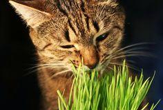 gato-grama