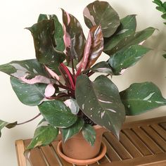 Philodendron 'Pink Princess' (Philodendron erubescens)
