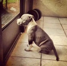 I waiting for my daddy to come home :-( I lonely :-( :-( #pitbull