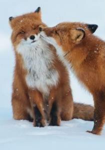 Renard baiser de renard roux #kissagingerday