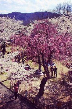 小諸城址 懐古園 #sakura #CherryBlossom Japanese Castle, Grand Canyon, Places, Nature, Travel, Outdoor, Outdoors, Naturaleza, Viajes