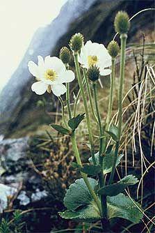 Mount Cook lily, Gertrude Saddle, Fiordland National Park.