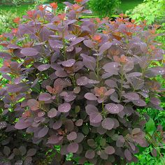 Smoke tree, Venetian sumac  Latin name: Cotinus coggygria 'Royal Purple'  Zone 5-9