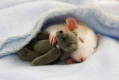 Rat cuddling with teddy bear under blanket and more cute pics that might change the way you view rats as pets