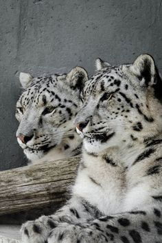 I Love Snow Leopards