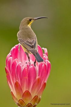 Malachite Sunbird female feeding on nectar from a protea flower by: fransswanepoel