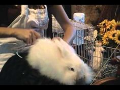 Angora Rabbit Spinning - I can't get over the cute, just look at that ball of furr! My two little bunnys wouldn't stay still, they're way too active..