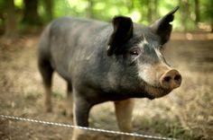 I love pigs!!