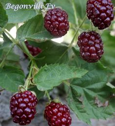 mydearcolors Blackberry, Raspberry, Fruit, Food, Garden, Syrup, Juice, Ice Cream Sandwiches, Blackberries