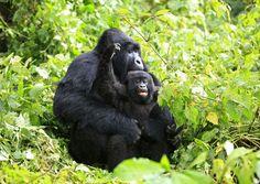 Un gorila de montaña durante la hora del baño de otro más pequeño en el Congo. Reuters