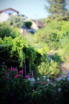 A rose garden in rural Cyprus at Troodos mountain range. My Photos, Stock Photos, Creative Video, Mountain Range, Cyprus, Image Collection, Royalty Free Images, Rose, Garden