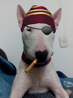 #English #Bull #Terrier Pirate