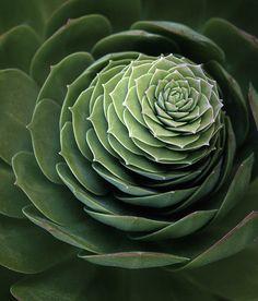 Patterns in nature. Cacti And Succulents, Planting Succulents, Planting Flowers, Succulent Bonsai, Cacti Garden, Succulent Arrangements, Cactus Plants, Agaves, Echeveria