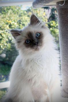 Birman Kitten - Blue Point - 3 Months old