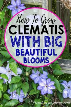 Container Gardening For Beginners Great tips for growing Clematis! It's my most favorite perennial vine for shade gardens with such big beautiful flowers. Learn more about Clematis care and pruning. Garden Vines, Clematis Care, Clematis, Clematis Vine, Clematis Plants, Shade Garden, Perennials, Plants, Gardening Tips