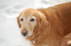 This is Bella - 6 yrs. She is an owner surrender. She was used as a breeder girl and is now learning to live indoors. She is doing well with potty training & house manners, gets along with other dogs & walks well on leash. She would prefer a forever home with no kids - they scare her. She has made great strides in learning not be be shy & timid about new things & situations. Bella is looking for a forever home and is at As Good As Gold Golden Retriver Rescue in Northern Illinois.
