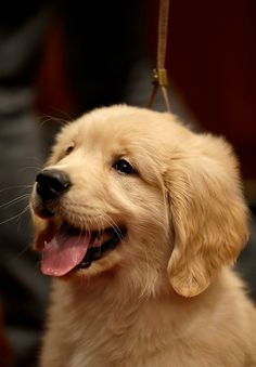 A golden retriever puppy named Gibbs.