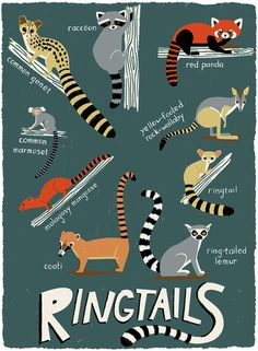Ringtail-Animals-Species-Identification-Katy-Tanis.jpg