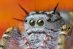 """The jumping spider Phidippus mystaceus. Those large eyes make them some of the more successful hunters in the world. Read more about their amazing visual acuity. Also, they hunt via the """"bungee jump"""" method. See? Better."""