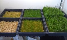 Backyard Chicken Lady ...thinking out loud: I Grow Wheat Grass for 17 Chickens for Less than 25 Cents a Day - Instructions