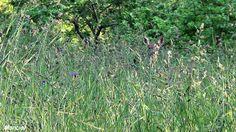 Corza entre la hierba